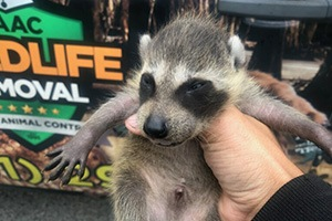 Wild raccoon kit removed from a customers attic
